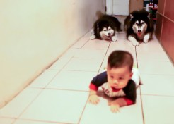 [VIDEO] Too Adorable: What Happens When Dogs Imitate Babies?