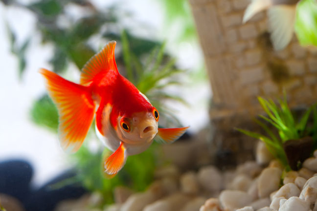 good-pets-for-kids-goldfish