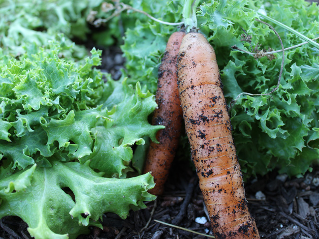 grow-your-own-carrots