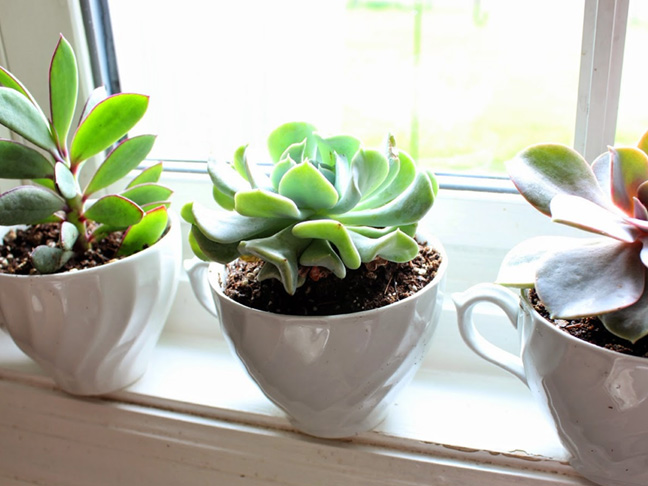 teacup succulents plant with kids