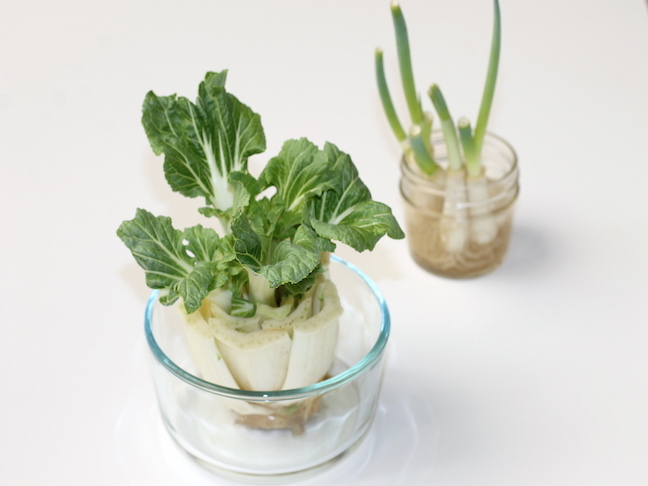 growing bok choy in kitchen