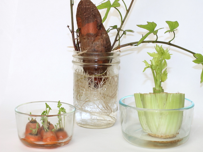 kitchen scrap garden in glass tupperware