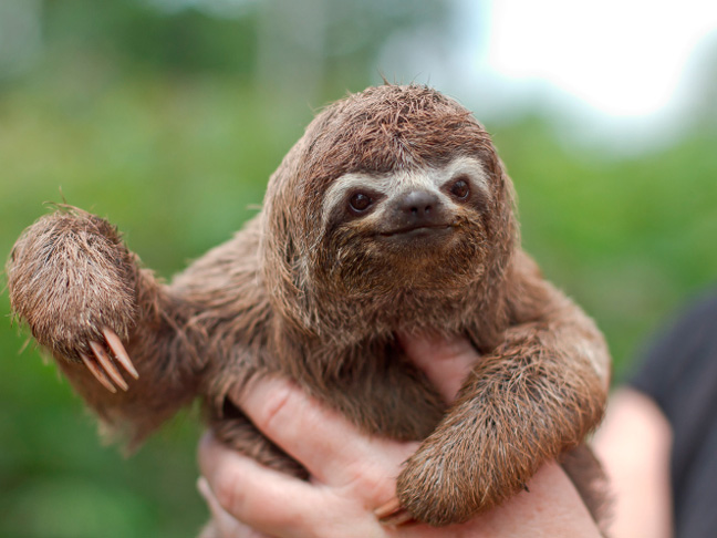 3-toed-sloth-endangered-species-baby